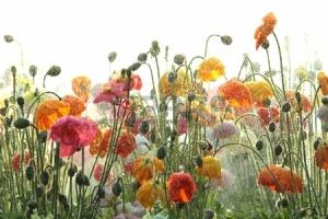 15550553-australiano-queensland-suroriental-atraccion-turistica-de-las-flores-de-carnaval-toowoomba