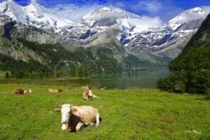 5814009-hermoso-paisaje-alpino-con-vacas-cerca-del-lago-con-las-monta-as-en-la-espalda-cubierta-por-la-nieve