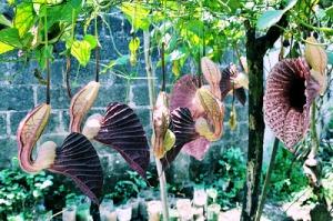 flor-pato-veracruz-mexico-0