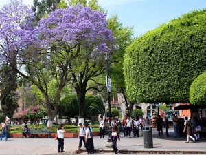 Queretaro Park with Jacaranda and Ficus Trees