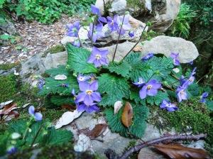 25-preciosas-flores-de-oreja-de-oso-en-el-llierca-13-6-13