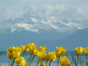 tulips-79667_960_720