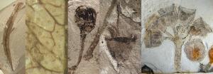 fossil-eucalypt