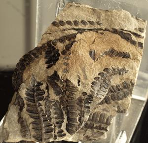 helecho-fosil45