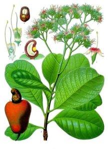 anacardium_occidentale_-_kohler-s_medizinal-pflanzen-010