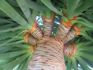 dracaena-draco-detalle-tronco