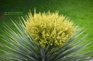 dracaena-tamaranae-en-flor-2314-1-750x497