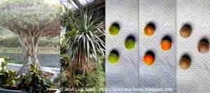 drago-de-canarias-dracaena-draco-frutos-semillas-fruits-seeds