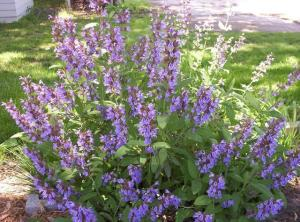 salvia-officinalis2