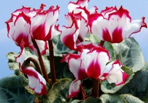 50pcs-bag-12kinds-font-b-cyclamen-b-font-seeds-potted-seed-flower-seed-budding-rate-95