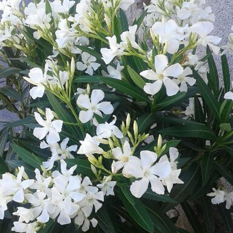 Adelfas creciendoentreflores for Plantas arbustos de hoja perenne