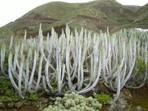 Euphorbe des Canaries (Euphorbia canariensis) à La Fajana, La Palma