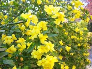 jazmin-amarillo