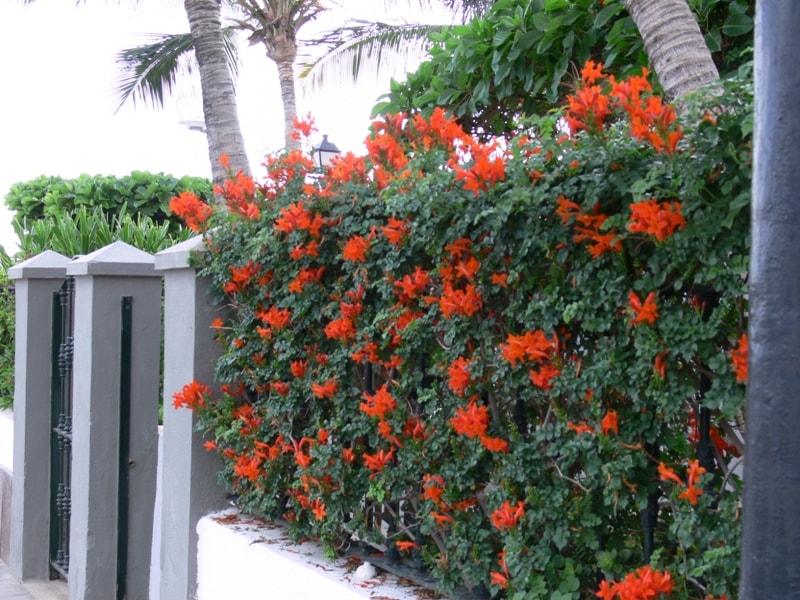 La valla de las tres enredaderas creciendoentreflores - Plantas trepadoras de sol ...