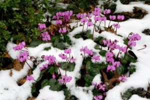This is a plant portrait of Cyclamen coum.