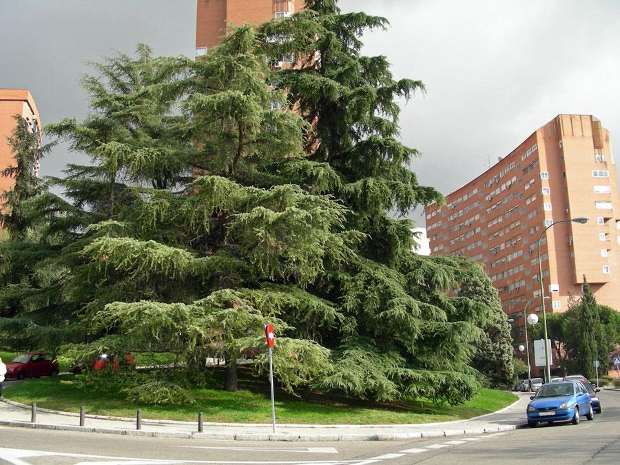 Cedro del l bano creciendoentreflores for Viveros de arboles en madrid
