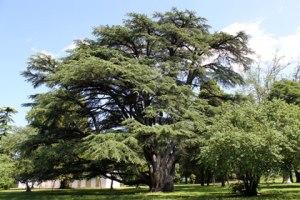 cedro-libano