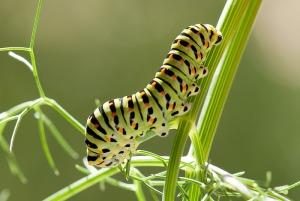Oruga de Papilio machaon en hinojo