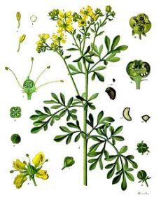 ruta_graveolens_-_kohler-s_medizinal-pflanzen-259