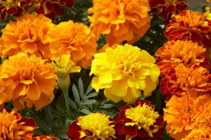 tagetes-patula-hero-mix-w2071-2