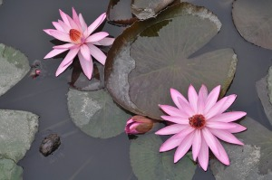 water-lilies-1072235_960_720