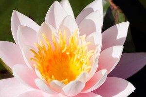 water-lilies-455241__340