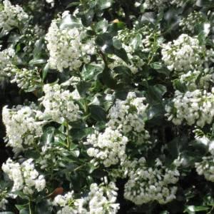 escalonias-blancas
