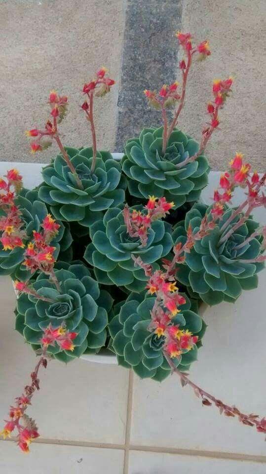Plantas Suculentas Creciendoentreflores