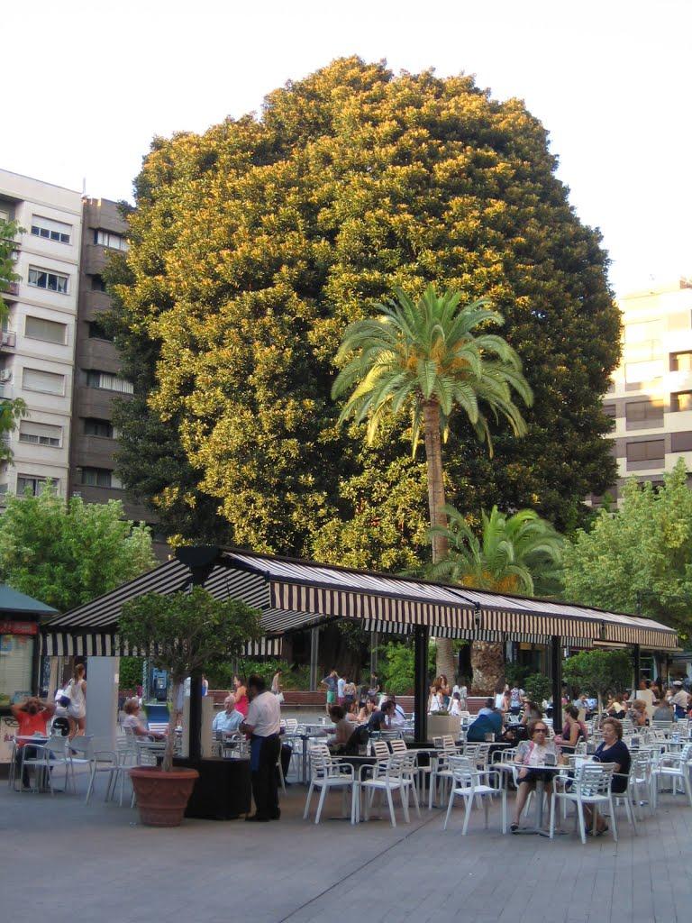 Ficus Murcia Plaza Santo Domingo Creciendoentreflores